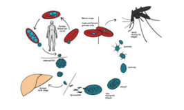 West Papuan have to get mosquito nets for Malaria Free program in 2030